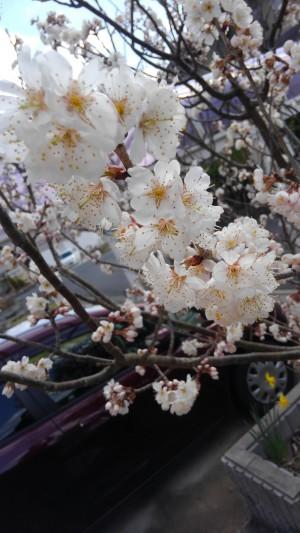 サクランボ花が咲く